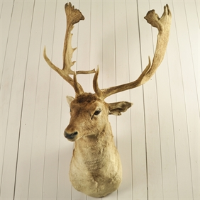 Large Fallow Deer Mount
