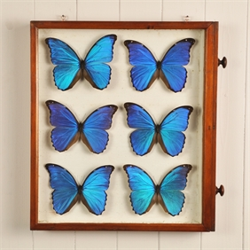 Six Framed Morpho Butterflies