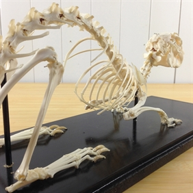 Rabbit Skeleton Mount
