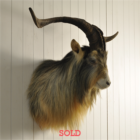 Afghan Goat Shoulder Mount