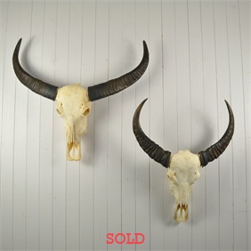 Asian Water Buffalo Skulls