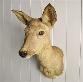 Vintage Roe Deer Taxidermy